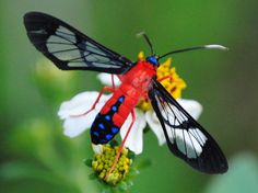 Scarlet bodied wasp moth (Cosmosoma myrodora). A moth that mimics a wasp.