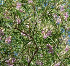 The long, slender leaves of desert willow make you think of willow, but once you learn some desert willow tree facts, you'll see that it is not in the willow family at all. Click on this article to learn more about these interesting plants.