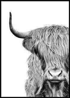 Highland cow close up Poster in de groep Posters / Afmetingen / 50x70cm bij Desenio AB (3638)