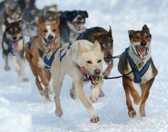Alaska Iditarod...wow the lead dog on the right here looks exactly like my Sydney girl...really want to believe she was adopted from the shelter. She was so smart & well trained, she must have made someone a real good pet!!! :D