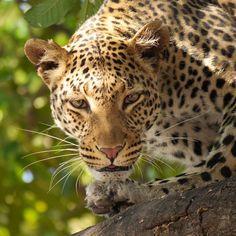 Free Image on Pixabay - Leopard, Safari, Wildier, Botswana