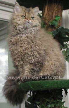 Selkirk Rex •I've got curls, I've got cuuuuurrllss