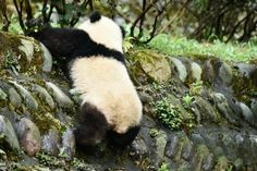 The early panda catches the bamboo.