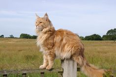 ginger cat on fence