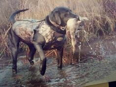 Black Lab My dog Hunting .Gator with a duck