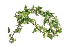 Ivy is All the Rage! Year 'round, ivy is it! This is an artificial Holland Ivy Garland, beautiful, isn't she? Yes and UV rated! Anyhow, wrap this around your fence and no one will know it's faux! 6ct $149.95 Great Investment!