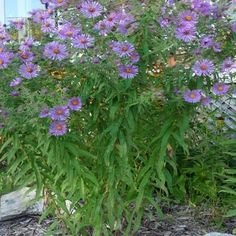 New England Aster - native - perennial