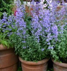 Herb garden - catmint (keep in pot?)