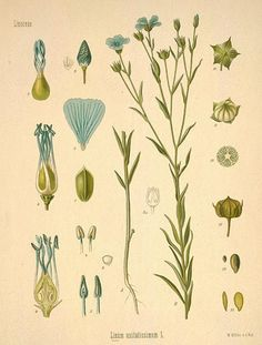 Old botanical drawing: the flax