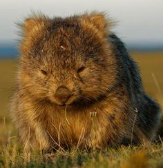 Engineer solves mystery of cubic wombat faeces Animals Of The World, Animals And Pets, Baby Animals, Funny Animals, Cute Animals, Cute Wombat, Baby Wombat, Beautiful Creatures, Animals Beautiful
