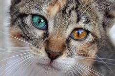 This kitten actually has a rare disease for humans, but not entirely rare for cats, called heterochromia.