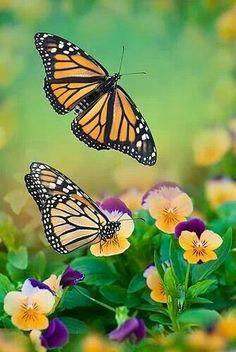 Monarch Butterfly. My Favorite :)