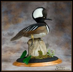 Drake Hooded Merganser Mount 1000+ images about Tax...