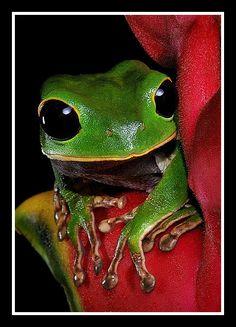 ✿⊱╮♥ Tree Frog