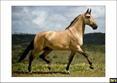 The Brazilian Campolina stallion Dimitri de Luanda. Another proud member of the CPAS.