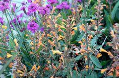 RHS Plant Selector Agastache aurantiaca 'Apricot Sprite' / RHS Gardening