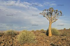Koecherbaum (Aloe dichotoma) und Wolfsmilch (Euphorbia) im Gebiet des Fischfluss-Canyons, suedliches Namibia, Afrika, Quiver tree and Euphorbia in Fish River Canyons area, Africa
