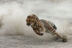 cheetah running full out