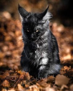 Look at this gorgeous maine coon! A Halloween spirit, to be sure. Pretty Cats, Beautiful Cats, Animals Beautiful, Cats Diy, Cute Cats And Kittens, Animals And Pets, Funny Animals, Cute Animals, Fierce Animals