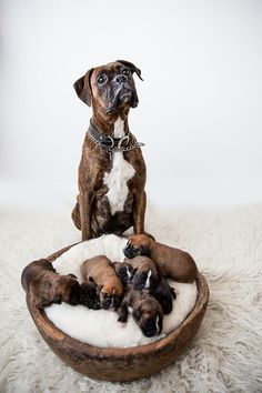 More About The Protective Boxer Puppies And Kids Boxer And Baby, Boxer Love, Cute Dogs Breeds, Dog Breeds, Cute Puppies, Dogs And Puppies, Doggies, Baby Boxer Puppies, Der Boxer