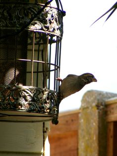 Female tree sparrow - the squirrels can't actually get into this cage. The can get into less ornamental ones, but not this one!