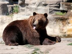 A grizzly bear sticks his tongue out after eating a frozen orange treat at the Detroit Zoo in Royal Oak, Tuesday, July 28, 2015.