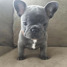 The major breeds of bulldogs are English bulldog, American bulldog, and French bulldog. The bulldog has a broad shoulder which matches with the head. Blue French Bulldog Puppies, Cute French Bulldog, Blue French Bulldogs, Teacup French Bulldogs, Teacup Bulldog, Cute Baby Animals, Animals And Pets, Funny Animals, Funny Dogs
