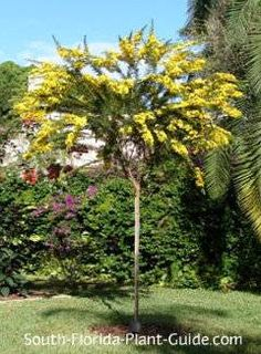 """cassia Desert cassia (Senna polyphylla) is the """"baby bear"""" of the three - growing to only 10 feet tall with spring and fall flowers. Florida Landscaping, Florida Gardening, Backyard Landscaping, Landscaping Ideas, Full Sun Shrubs, Full Sun Plants, Florida Trees, Florida Plants, Desert Trees"""