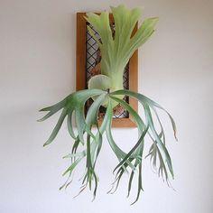 貯水葉の勢いがすごいですまだ先っちょホワホワしてるし、次の貯水葉も肉厚ですごいヤル気マンマン . 自己満足3連投いきまーす!笑 #u_4nのウィリンキー#ビカクシダ#ウィリンキー#貯水葉#platycerium#staghornferns#plants#willinckii#ウィリン狂#植物のある暮らし Air Plants, Indoor Plants, Flora Grubb, Platycerium, Staghorn Fern, Fern Plant, Buxus, Earthship, Tropical Houses