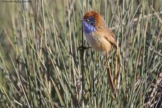 Rufous-Crowned Emu-Wren - Stipiturus ruficeps : This wren species is of the family Maluridae. It is found across southern and central Australia. This wren is the smallest and brightest of the three emu-wren species - Image : © barraimaging.com.au