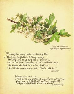 Country Diary of an Edwardian Diary / Edith Holden (May or Hawthorn)