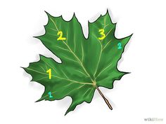 How to Identify Sugar Maple Trees. The sugar maple tree (Acer saccharum) grows abundantly in the northeastern part of North America: the northeastern United States (including as far south as Tennessee) and the southeastern portion of. Garden Trees, Trees To Plant, Plant Leaves, Tree Identification, Identify Plant, Maple Tree, Small Farm, Garden Landscaping, Green Colors