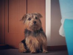 #dog #norfolkterrier #pets_of_instagram #cachorro #dogoftheday #dogsofinstagram #life #instagood #ilovedogs #petbox #instaterrier #cutedog #instapuppy #instapet #animal #doggy #pup #petsagram #cute #terriers #excellent_dogs #cutie #weeklyfluff #instagramdogs #instadog Norfolk Terrier, Terriers, Boxer, Pup, Instagram Posts, Dogs, Life, Diy Dog, Animales