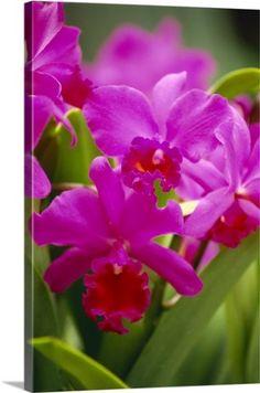 Pabstia Species ´Blue Gem´ 4N NEW Duft Orchidee Orchideen Zygopetalum