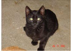 Black Betty - Domestic Shorthair