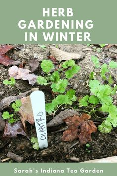 Winter herb gardening can be intimidating for some beginner gardeners. Knowing when to prune, what can grow and how to keep them healthy can be a lot to think about. This post breaks down each of those concerns and will give you the tool you need for this next season. Winter herb gardening | How to grow herbs in the winter | How to grow herbs in winter | Getting your garden ready for winter | Indoor herb gardening | Indoor herb gardening during the winter | growing herbs for beginners Gardening Zones, Herb Gardening, Container Gardening, Best Herbs To Grow, Growing Herbs, Raised Bed, Raised Garden Beds, Fall Vegetables, Herbs Indoors
