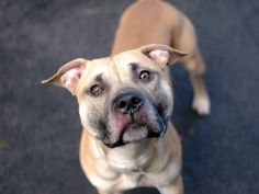 """Manhattan Center  SPARKY  A0985497 MALE   TAN   PIT BULL MIX  1 yr.  STRAY  11/20/13  Unsettled finding himself in a shelter, Sparky is found crying softly when spotting a familiar face or canine pal. Sparky's tail goes into a friendly overdrive when seeing other dogs, a sign that they might have been a part of his life. Likely house trained, comes when called, and """"sits"""" for treats. So, if you're an experienced owner ready to make a commitment to a dog with much love to give, come see…"""