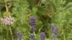 Video: More on Lavender from Better Homes and Gardens