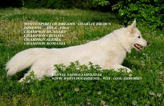 White Spirit of Dreams'Charlie Brown / Dzsemil www.whitedogdzsemil.wix.com/dzsemil-Dzsemil- white swiss shepherd