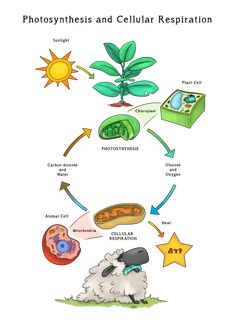 Science Resources, Science Education, Teaching Science, Teaching Resources, Photosynthesis And Cellular Respiration, Animal Cell, Plant Cell, Plant Science, Classroom