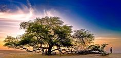 Tree of Life. This tree has got to have some deep roots! (you can view were the tree is on google maps)