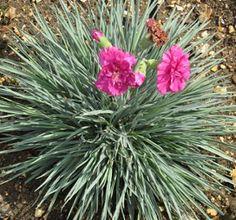 dianthus plumarius devon wizard ou œillet mignardise rose double godet 8cm