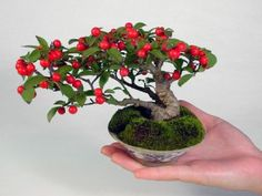 Shohin-Bonsai is a Japanese traditional art which can be put on your palm. It is a small-sized tree or a group of several trees in tiny pot(s) which represents a feature or a scenic view as if it is the one in the nature evolving through the four seasons