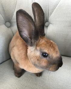 Black tort Mini-Rex bunny rabbit! Cute Little Animals, Cute Funny Animals, Cute Cats, Baby Animals, Mini Rex Rabbit, Bunny Rabbit, Cutest Bunny Ever, Rabbit Colors, Rabbit Pictures