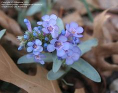 Bloom for November 25, 2012: sand penstemon (Penstemon arenicola). Photo by KSBaptisia.