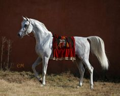 Tabarak El Gabry Gorgeous son of Tabari out of multi-champion mare and 2005 WAHO trophee holder Bint Montasir Rahim by Montasir. Conformation unaltered. Photography by Emma Maxwell & Claudia Duffe.