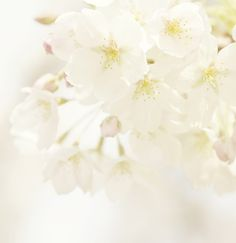 clouds of blossoms   Flickr - Photo Sharing!