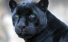 pantera negra - Pesquisa Google