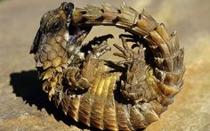 An Armadillo Lizard bites its own tail while trying to roll into a defensive ball
