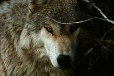 Wolves and Wild Dogs | Wild Animal Attacks | What To Do When Attacked By Ferocious Beasts